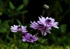 Anemone. Stock Photo