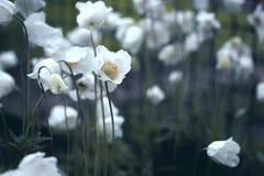 Anemone Στοκ Εικόνες