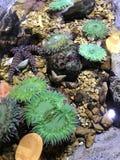 anemone fotografia de stock