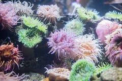 anemone fotografia stock