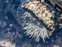 Anemone, Actinia Blume des Meeres Lizenzfreie Stockfotos