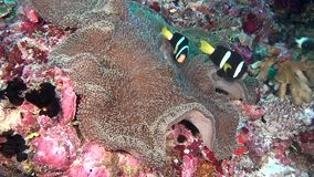 Anemone actinia and bright clown fish on seabed underwater of Maldives. stock video