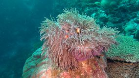 Anemone actinia and bright orange clown fish on seabed underwater of Maldives. stock video footage