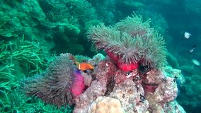 Anemone actinia and bright orange clown fish on seabed underwater of Maldives. stock video
