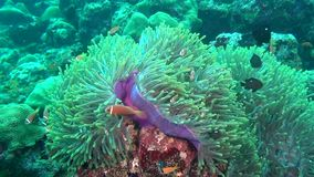 Anemone actinia and bright orange clown fish on seabed underwater of Maldives. stock footage