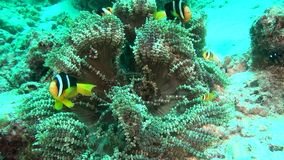 Anemone actinia and bright orange clown fish on seabed underwater of Maldives. Swimming in world of colorful wildlife. Inhabitants in search of food. Abyssal stock video