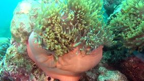 Anemone actinia and bright orange clown fish on seabed underwater of Maldives. Swimming in world of colorful wildlife. Inhabitants in search of food. Abyssal stock footage