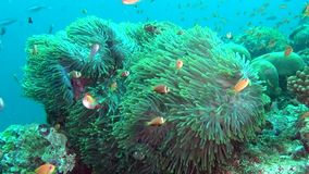 Anemone actinia and bright orange clown fish on seabed underwater of Maldives. Swimming in world of colorful wildlife. Inhabitants in search of food. Abyssal stock video footage