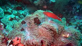 Anemone actinia and fish on seabed underwater of Maldives. Swimming in world of colorful wildlife. Inhabitants in search of food. Abyssal relax diving. Unique stock footage