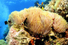 Anemone. Or  Actinia home or clownfish, urticante marine animal Stock Image