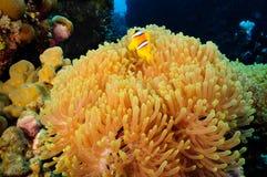 Anemone. Or  Actinia home or clownfish, urticante marine animal Stock Photos