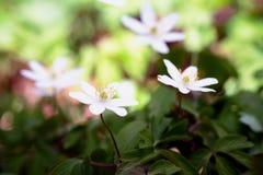 Anemone adorabile immagine stock