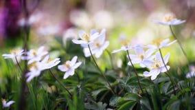 Anemone adorabile fotografia stock
