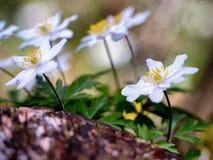 Anemone adorabile fotografie stock libere da diritti