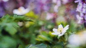 Anemone adorabile immagine stock libera da diritti