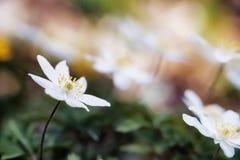 Anemone adorabile immagini stock