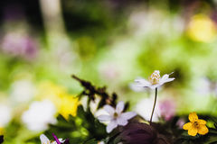 Anemone adorabile immagini stock libere da diritti