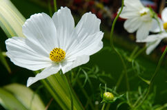 Anemone alpino immagine stock