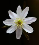 Anemone altaica Stock Images