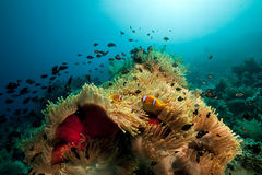 Anemone And Fish In The Red Sea. Royalty Free Stock Photography
