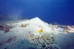 anemone anemonefish δερματοειδές Στοκ εικόνα με δικαίωμα ελεύθερης χρήσης