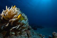 anemone anemonefish θαυμάσιο Στοκ Εικόνες