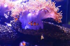 Anemone Anemonefish και θάλασσας Στοκ εικόνα με δικαίωμα ελεύθερης χρήσης