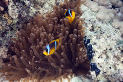 anemone anemonefish Στοκ Φωτογραφία