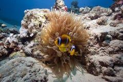 anemone anemonefish Στοκ φωτογραφίες με δικαίωμα ελεύθερης χρήσης