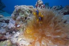 anemone anemonefish Στοκ Εικόνα