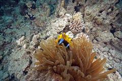 anemone anemonefish Στοκ Εικόνες