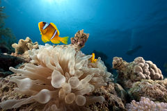 Anemone and anemonefish Stock Photos