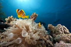 Anemone and anemonefish Stock Photos