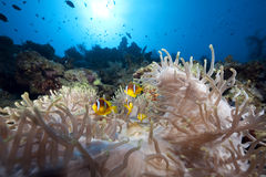 Anemone and anemonefish Stock Images