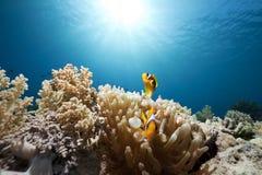 anemone anemonefish Στοκ φωτογραφία με δικαίωμα ελεύθερης χρήσης
