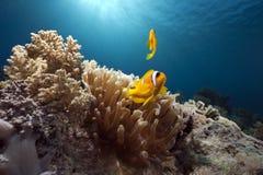 anemone anemonefish Στοκ εικόνα με δικαίωμα ελεύθερης χρήσης