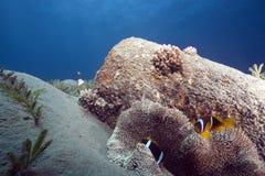 anemone anemonefish haddon s Στοκ φωτογραφίες με δικαίωμα ελεύθερης χρήσης