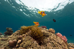 Anemone and anemonefish in the Red Sea. Stock Photography