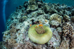 Anemone and Anemonefish on Reef Stock Images