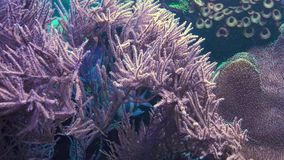 Anemone in an Aquarium 4k footage. Anemone in an Aquarium with fish stock video