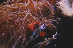 Anemone, Aquatic, Biology Royalty Free Stock Images