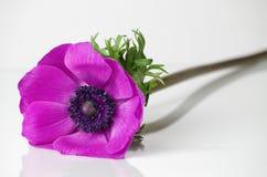 Anemone Royalty Free Stock Photo