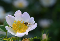 Anemone & Bee Royalty Free Stock Image
