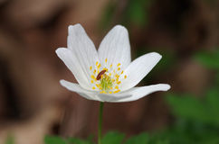 Anemone with beetle. Anemone flower with beetle in it Royalty Free Stock Photography