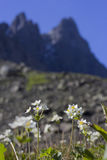 Anemone biarmia Royalty Free Stock Image