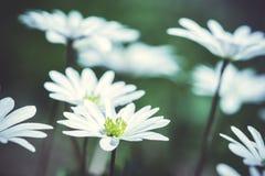 Anemone Blanda (ελληνικό Windflower) στον κήπο Στοκ φωτογραφία με δικαίωμα ελεύθερης χρήσης