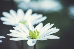 Anemone Blanda (ελληνικό Windflower) στον κήπο Στοκ Φωτογραφία