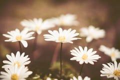 Anemone Blanda (ελληνικό Windflower) στον κήπο Στοκ εικόνες με δικαίωμα ελεύθερης χρήσης