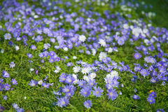 Anemone blanda Stock Photos