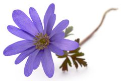 Anemone Blanda stock foto